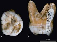 Знаменитый зуб из Денисовой пещеры.<br />Источник: David Reich et al.  Genetic history of an archaic hominin group from Denisova Cave in Siberia // Nature. 2010. V. 468. P. 1053–1060.