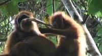 Совместное поедание добычи орангутанами (мамой и дочкой).