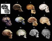 1 - Австралопитек афарский. 2 - Австралопитек африканский. 3 - Homo rudolfensis. 4 - Homo ergaster. 5 - Homo ergaster. 6 - Homo erectus (питекантроп). 7 - Homo erectus (синантроп). 8 - Homo heidelbergensis. 9 - Homo heidelbergensis. 10 - Homo helmei. 11 - Homo sapiens idaltu. 12 - Homo sapiens sapiens.