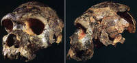 Череп Бодо. Источник: https://www.msu.edu/~heslipst/ contents/ANP440/heidelbergensis.htm