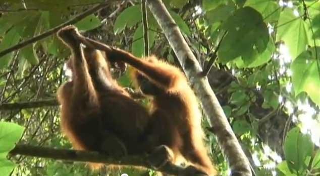Секс орангутанов видео