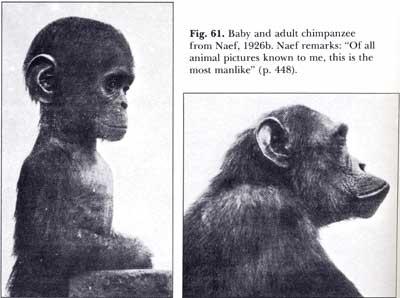 Детеныш слева и взрослый шимпанзе