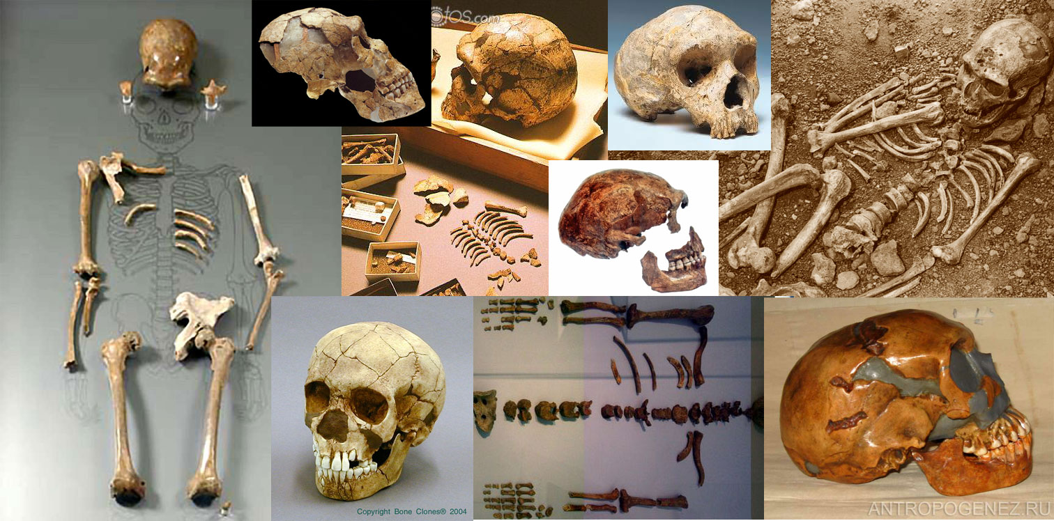 http://antropogenez.ru/uploads/tx_antropedia/neander1.jpg